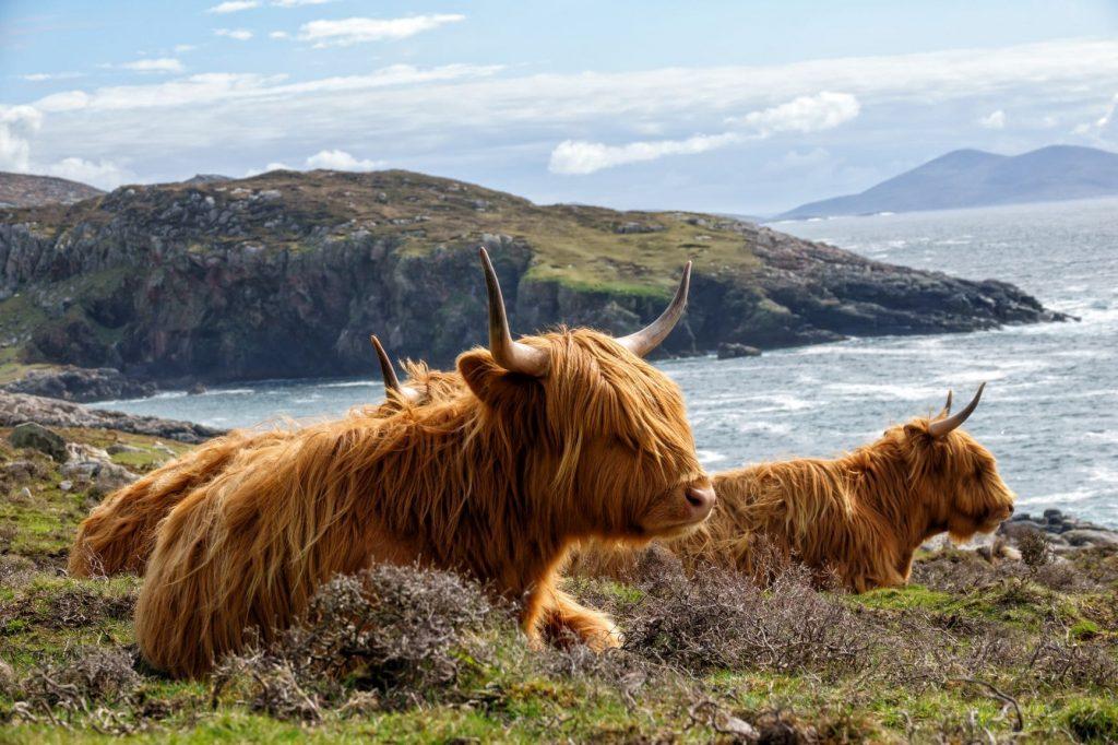 Wohl das Symbol der Highlands: Das Highland Cattle